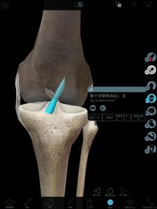 前十字靭帯(前から見た膝)