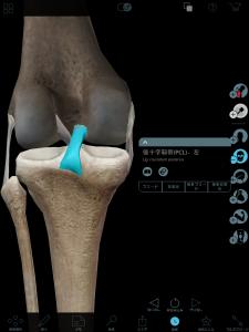 後十字靭帯(後から見た膝)
